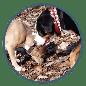 Hundeschule in Berlin - Spezialtraining Anti Giftköder Training - Hund schnüffeln am Boden